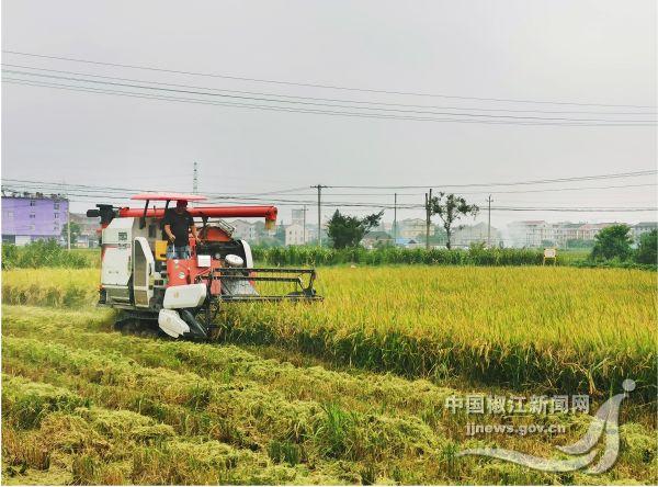 椒江2万多亩早稻开割